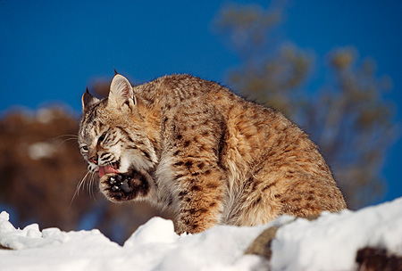 BOB 01 RK0002 07 © Kimball Stock Bobcat Sitting In Snow Cleaning Its Paw Montana
