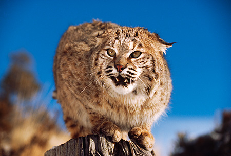 BOB 01 RK0012 02 © Kimball Stock Bobcat Sitting On Top Of Branch Growling