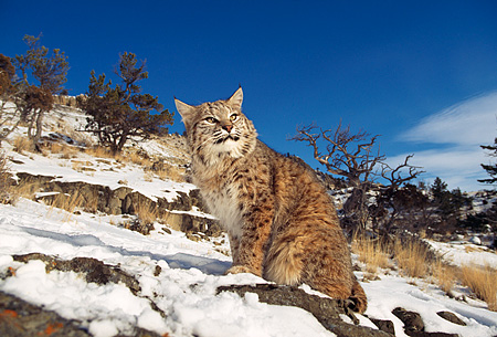 BOB 01 RK0018 01 © Kimball Stock Bobcat Sitting On Snow Covered Rocks On Hill