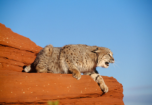 BOB 01 TK0006 01 © Kimball Stock Profile Of Bobcat Snarling In Desert Blue Sky