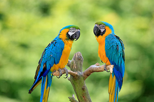 BRD 01 AC0019 01 © Kimball Stock Blue And Yellow Macaws (Also Blue And Gold Macaws) Perching On Tree