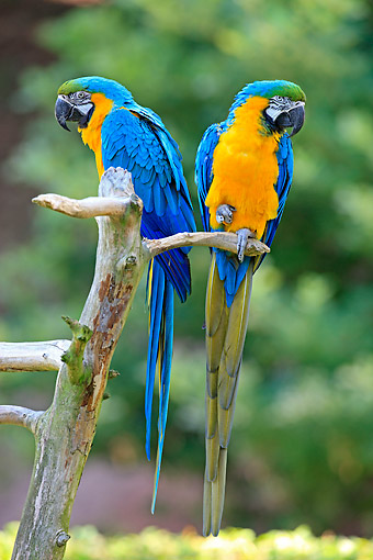 BRD 01 AC0020 01 © Kimball Stock Blue And Yellow Macaws (Also Blue And Gold Macaws) Perching On Tree