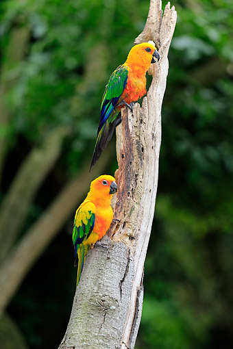 BRD 01 AC0023 01 © Kimball Stock Jendaya Parakeets Perching In Tree, Brazil