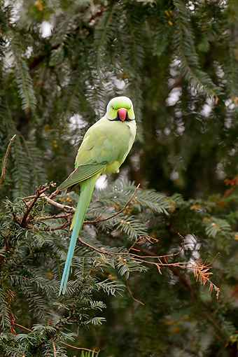 BRD 01 AC0024 01 © Kimball Stock Rose-Ringed Parakeet Male Sitting In Tree In Germany