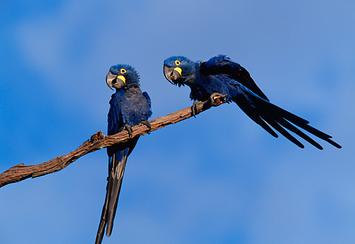 BRD 01 BA0001 01 © Kimball Stock Two Blue Hyacinth Macaws Perched On Tree Branch