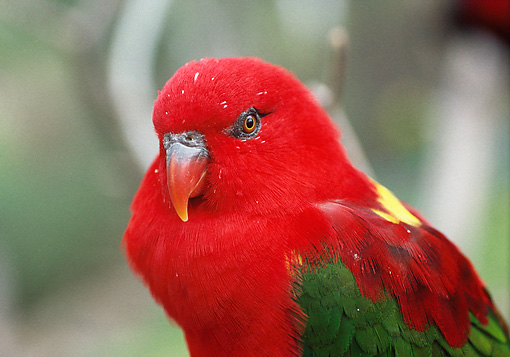 BRD 01 BA0003 01 © Kimball Stock Close-Up Of Yellow-Backed Chattering Lory Perched On Branch