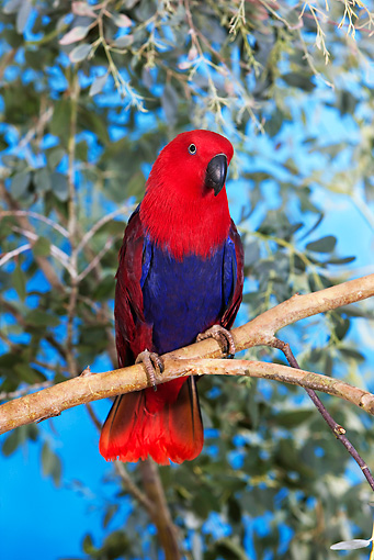 BRD 01 GL0001 01 © Kimball Stock Eclectus Parrot Female Perched On Branch