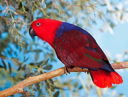 BRD 01 GL0002 01 © Kimball Stock Eclectus Parrot Female Perched On Branch