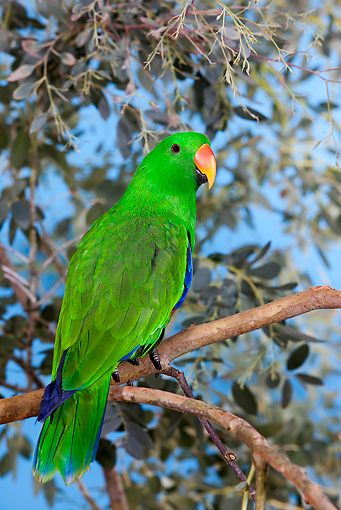 BRD 01 GL0005 01 © Kimball Stock Eclectus Parrot Male Perched On Branch