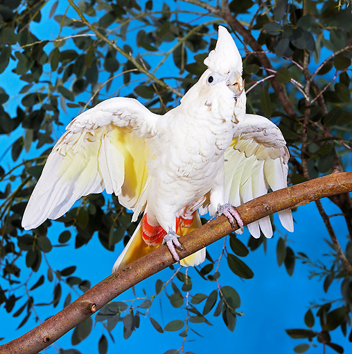 BRD 01 GL0007 01 © Kimball Stock Philippine Cockatoo (Red-Vented Cockatoo) Perched On Branch With Wings Open