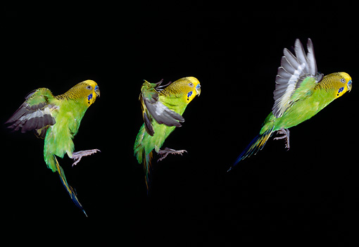 BRD 01 GL0008 01 © Kimball Stock Three Shots Of Yellow And Green Budgie Flying In Dark
