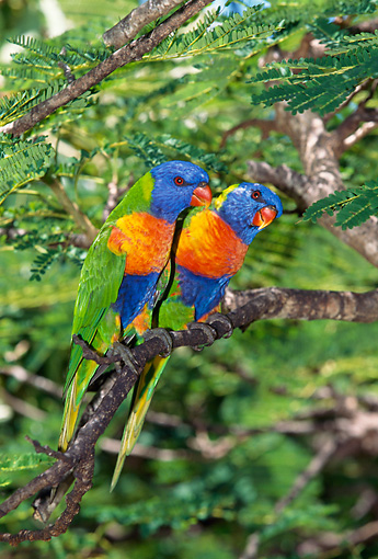 BRD 01 GL0010 01 © Kimball Stock Two Rainbow Lorikeets Perched On Tree Branch Australia