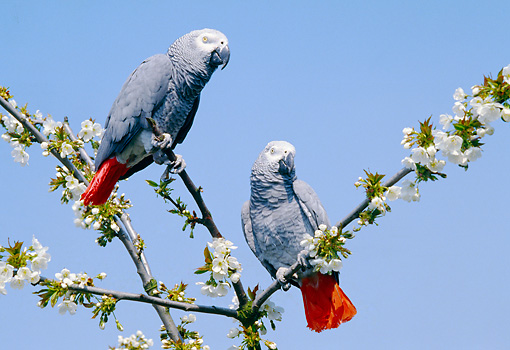 BRD 01 GL0011 01 © Kimball Stock Two African Grey Parrots Perched On Blossoming Tree