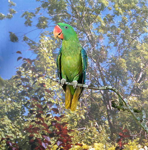 BRD 01 GL0014 01 © Kimball Stock Great-Billed Parrot Perched On Twig