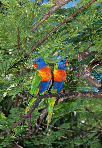 BRD 01 GL0015 01 © Kimball Stock Two Rainbow Lorikeets Perched On Tree Branch In Australia