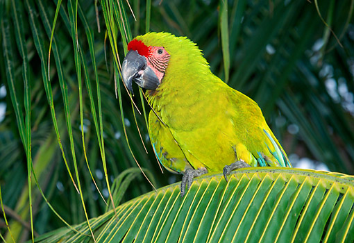 BRD 01 GL0017 01 © Kimball Stock Great Green Macaw Perched In Tree