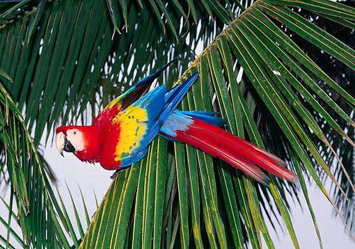 BRD 01 GL0018 01 © Kimball Stock Scarlet Macaw Perching On Palm Tree