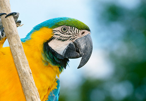 BRD 01 GL0019 01 © Kimball Stock Blue-And-Yellow Macaw Portrait On Branch