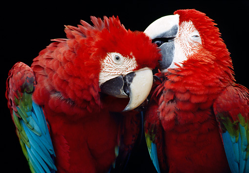 BRD 01 GR0006 01 © Kimball Stock Close-Up Of Two Green-Winged Macaws Nuzzling