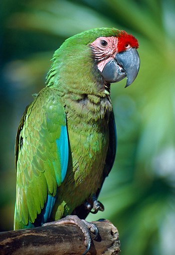 BRD 01 GR0007 01 © Kimball Stock Portrait Of Military Macaw Perched On Branch