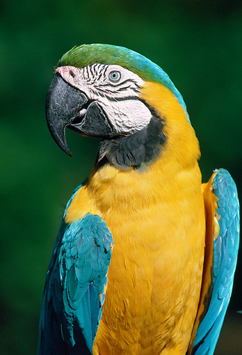 BRD 01 GR0008 01 © Kimball Stock Portrait Of Blue-And-Yellow Macaw Florida