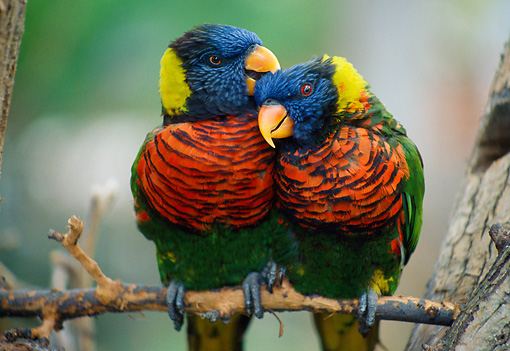 BRD 01 GR0012 01 © Kimball Stock Two Rainbow Lorikeets Nuzzling On Twig