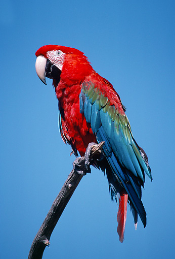 BRD 01 GR0013 01 © Kimball Stock Green-Winged Macaw Perched On Branch Against Blue Sky