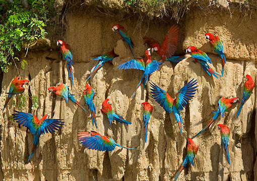 BRD 01 JE0001 01 © Kimball Stock Flock Of Green-Winged Macaws On Cliff Wall South America