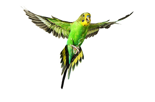how to draw a parakeet flying