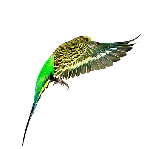BRD 01 JE0003 01 © Kimball Stock Green Budgie Flying On White Seamless