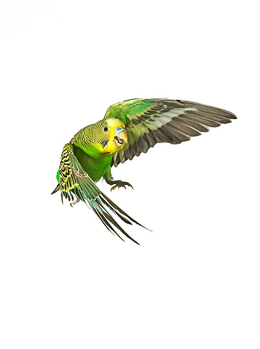 BRD 01 JE0004 01 © Kimball Stock Green Budgie Flying On White Seamless