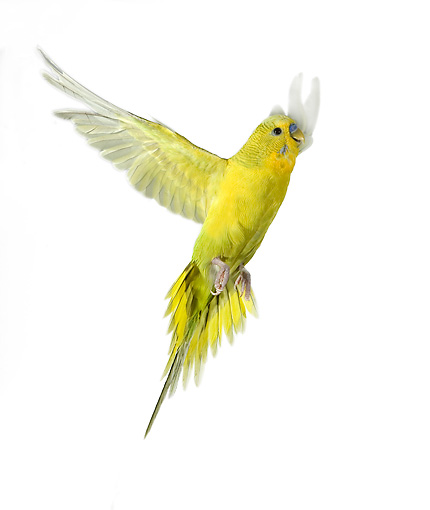 BRD 01 JE0005 01 © Kimball Stock Yellow Budgie Flying On White Seamless