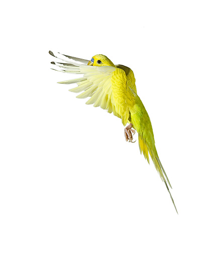 BRD 01 JE0006 01 © Kimball Stock Yellow Budgie Flying On White Seamless