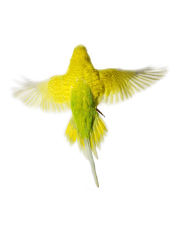 BRD 01 JE0007 01 © Kimball Stock Yellow Budgie Flying On White Seamless