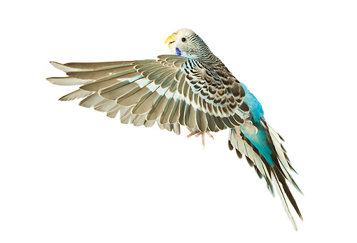 BRD 01 JE0008 01 © Kimball Stock Brown And Blue Budgie Flying On White Seamless