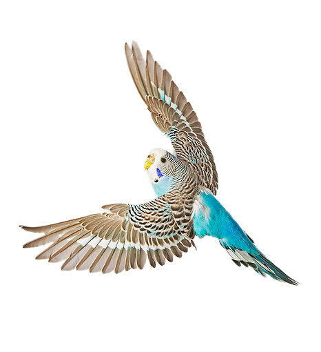 BRD 01 JE0009 01 © Kimball Stock Brown And Blue Budgie Flying On White Seamless