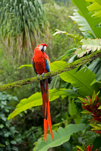 BRD 01 JE0010 01 © Kimball Stock Scarlet Macaw Sitting On Branch In Rainforest