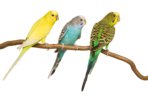 BRD 01 JE0012 01 © Kimball Stock Three Green, Blue And Yellow Budgies Perched On Branch On White Seamless