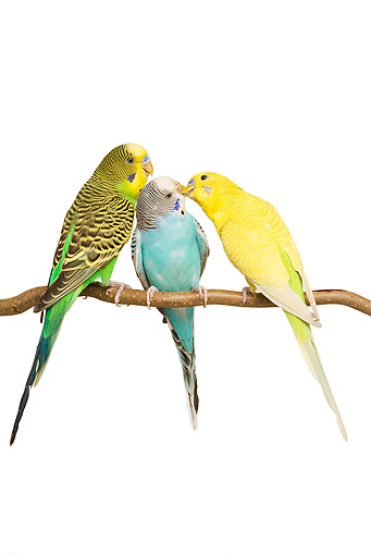 BRD 01 JE0013 01 © Kimball Stock Three Green, Blue And Yellow Budgies Perched On Branch On White Seamless