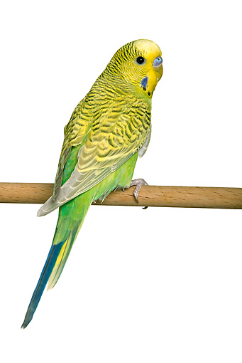 BRD 01 JE0015 01 © Kimball Stock Yellow And Green Budgie Perched On Stick On White Seamless