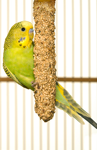 BRD 01 JE0016 01 © Kimball Stock Yellow And Green Budgie Eating Seeds In Cage On White Seamless