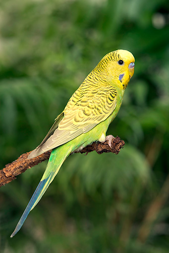 BRD 01 JE0017 01 © Kimball Stock Portrait Of Yellow And Green Budgie Perched On Stick