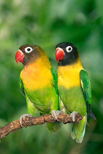 BRD 01 JE0018 01 © Kimball Stock Portrait Of Masked Lovebirds Perched On Stick