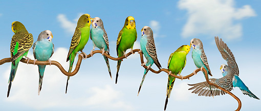BRD 01 JE0019 01 © Kimball Stock Group Of Parakeets Perched On Branch Against Blue Sky