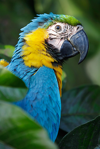 BRD 01 JE0020 01 © Kimball Stock Portrait Of Blue Macaw In Jungle