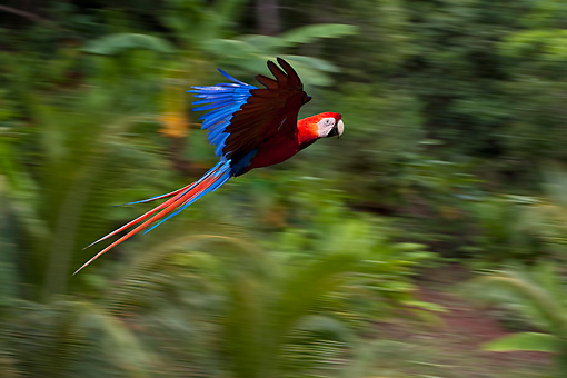 BRD 01 KH0027 01 © Kimball Stock Scarlet Macaw In Flight