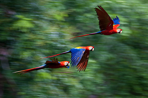 BRD 01 KH0028 01 © Kimball Stock Scarlet Macaws In Flight