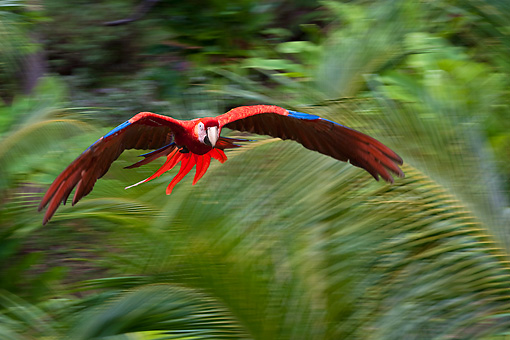 BRD 01 KH0030 01 © Kimball Stock Portrait Of Scarlet Macaw In Flight