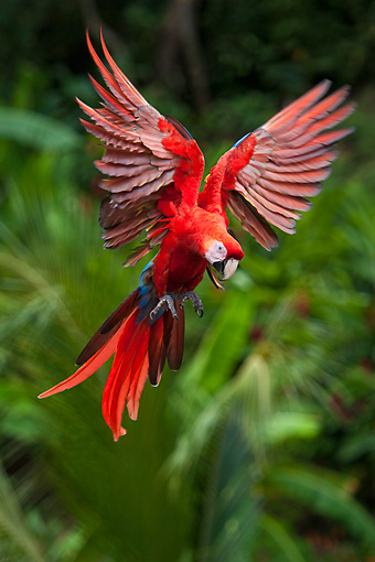 BRD 01 KH0031 01 © Kimball Stock Portrait Of Scarlet Macaw In Flight