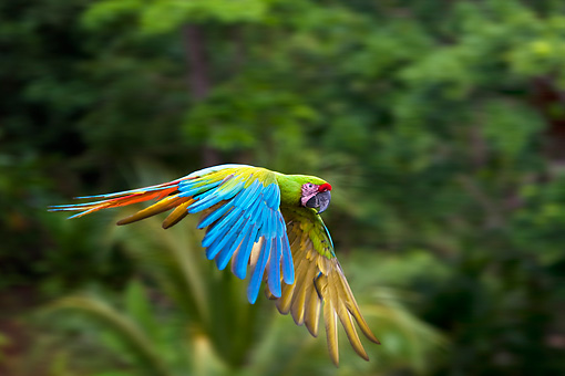 BRD 01 KH0032 01 © Kimball Stock Portrait Of Military Macaw In Flight